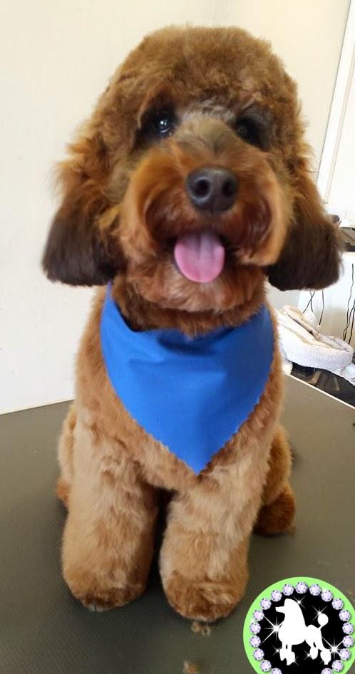 Mutley makeovers dog grooming cockerpoo photo