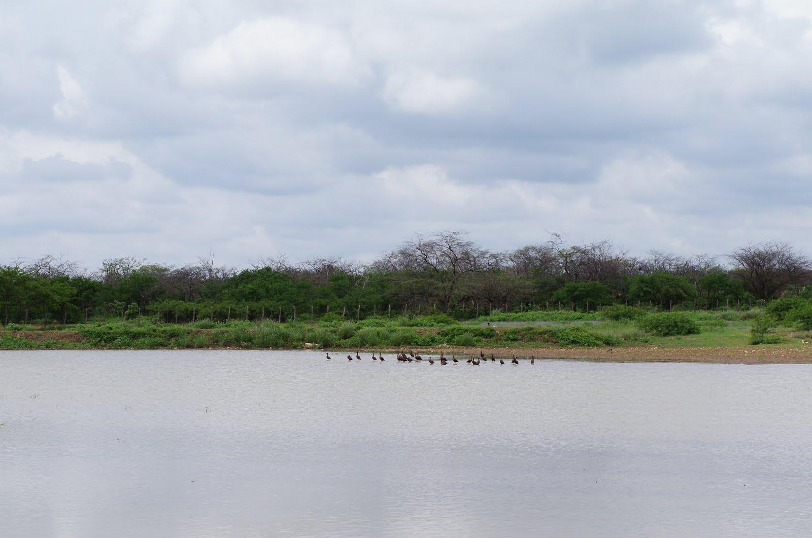 O marreco em lagoas da caatinga