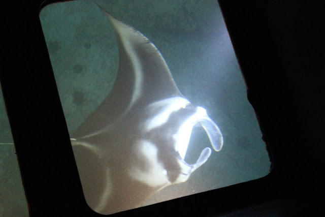 reef manta photo by Engela Edwards (c) 2012