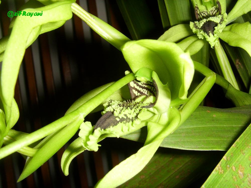 Anggrek Hitam Kalimantan godean.web.id
