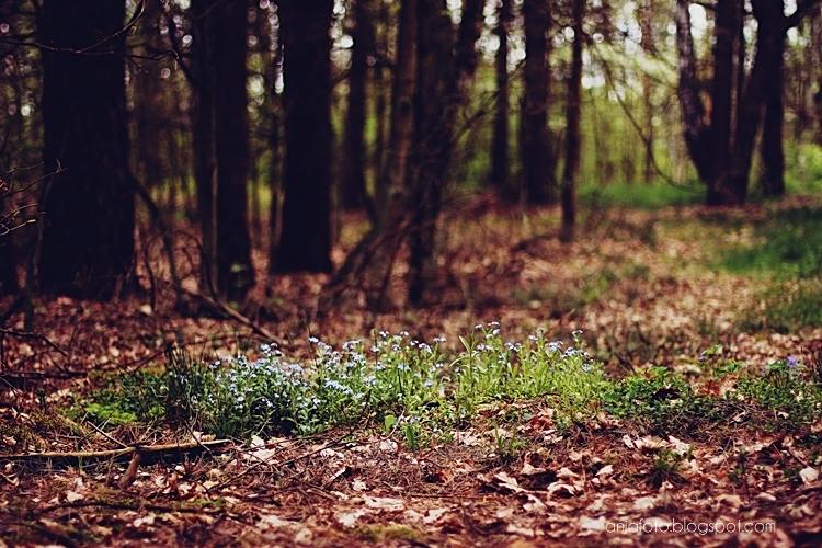 las, forest, bokeh, bokeh photography, fotografia przyrodnicza, nature photography, niezapominajki, forgetmenot