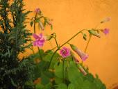 Flores del trébol