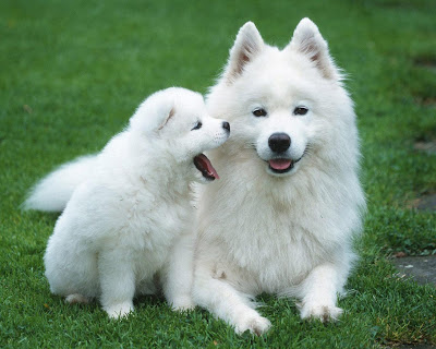 puppy samoyed