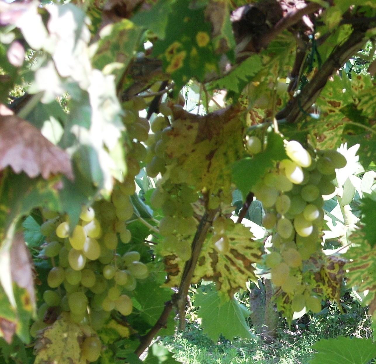 Noivastesi quando a napoli si vendeva l uva del vasto for Quando si pianta l aglio