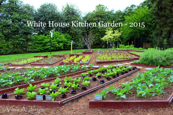 White House kitchen garden in the spring of 2015