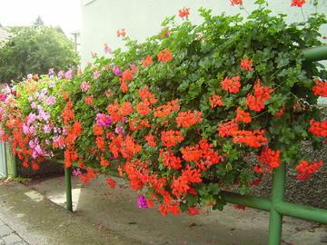 Fiori piante e giardini del mondo aprile 2012 for Geranio parigino