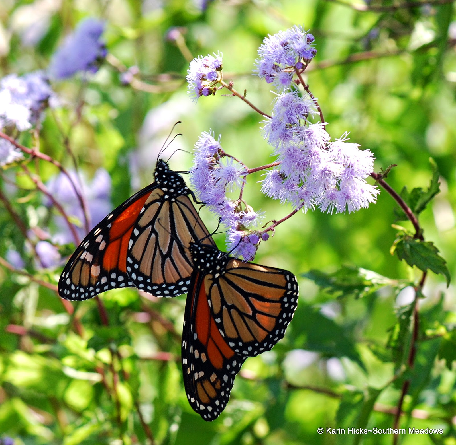 two monarch butterflies on blue mist flower
