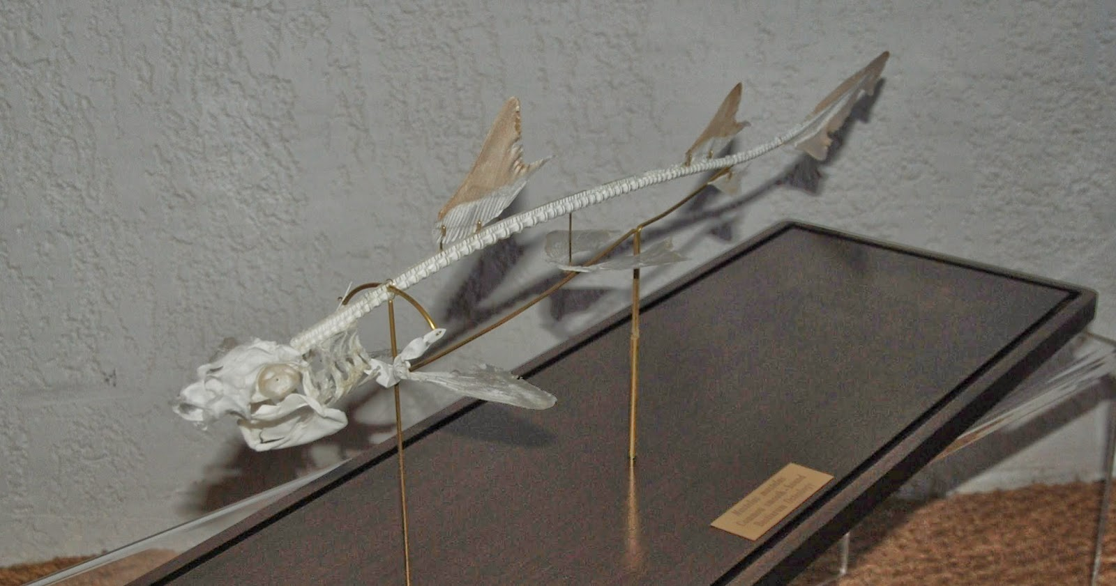 Shark Skeletons Related Keywords & Suggestions - Shark Skeletons Long ...