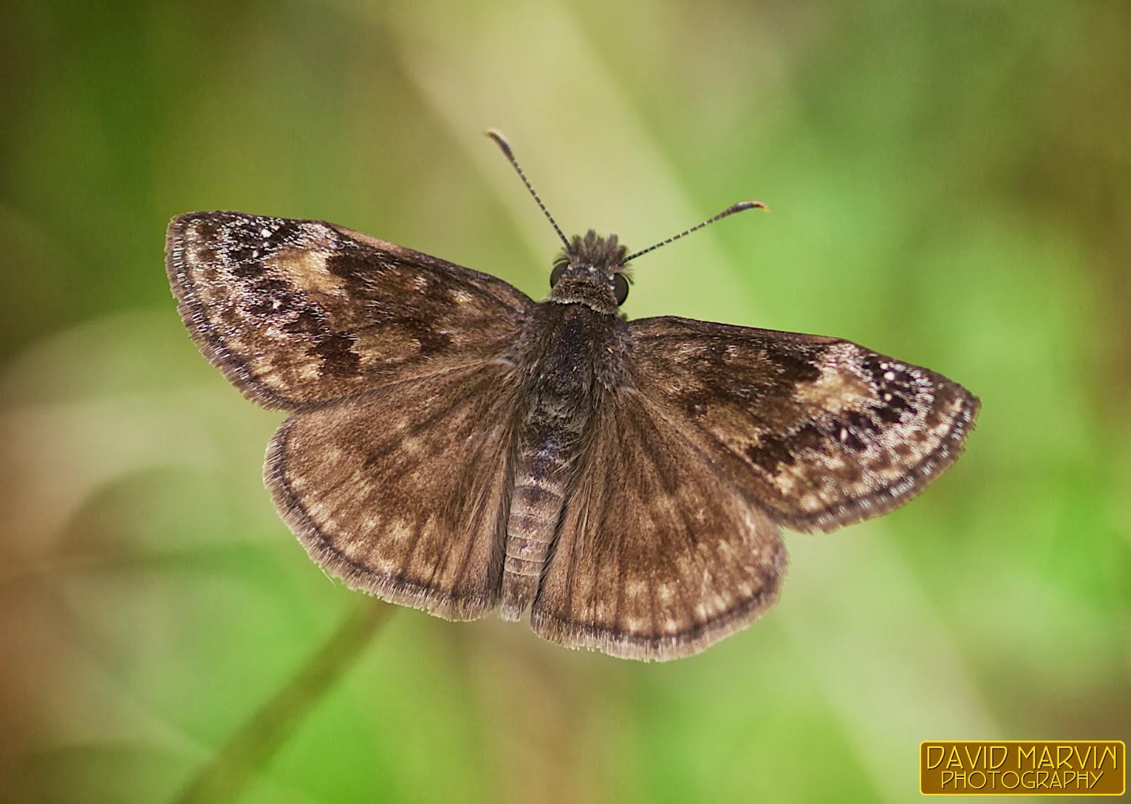 Wild Indigo Duskywing - Erynnis baptisiae - North American