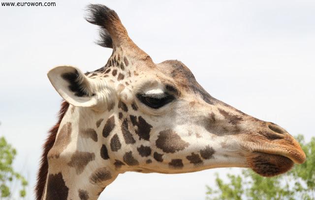 Cabeza de jirafa en el parque de atracciones Everland