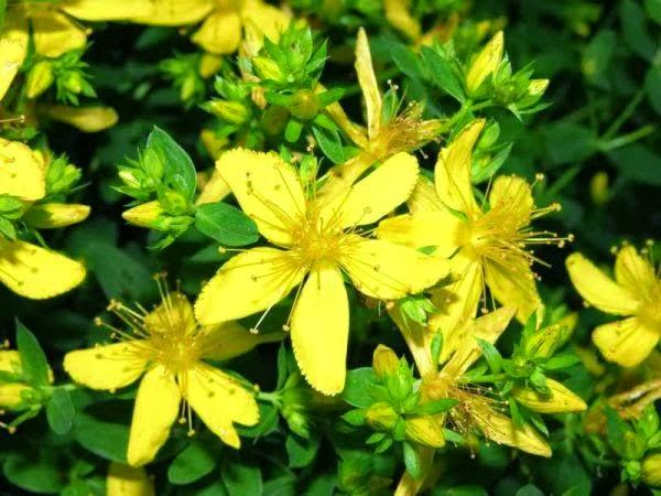 İltihap önleyici bitki,Kantaron yağının faydaları,Antidepresan ,Antiviral, menapoz