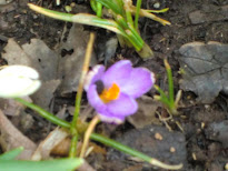 Crocuses from my garden