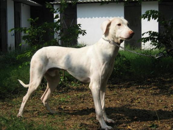 Sharmalan Thevar: Dogs of Tamil Nadu