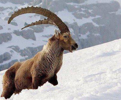 Himalayan ibex - photo#18
