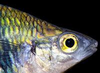 Freswater Aquarium Rainbowfishes Types