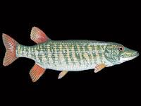Redfin Pickerel Fish Pictures