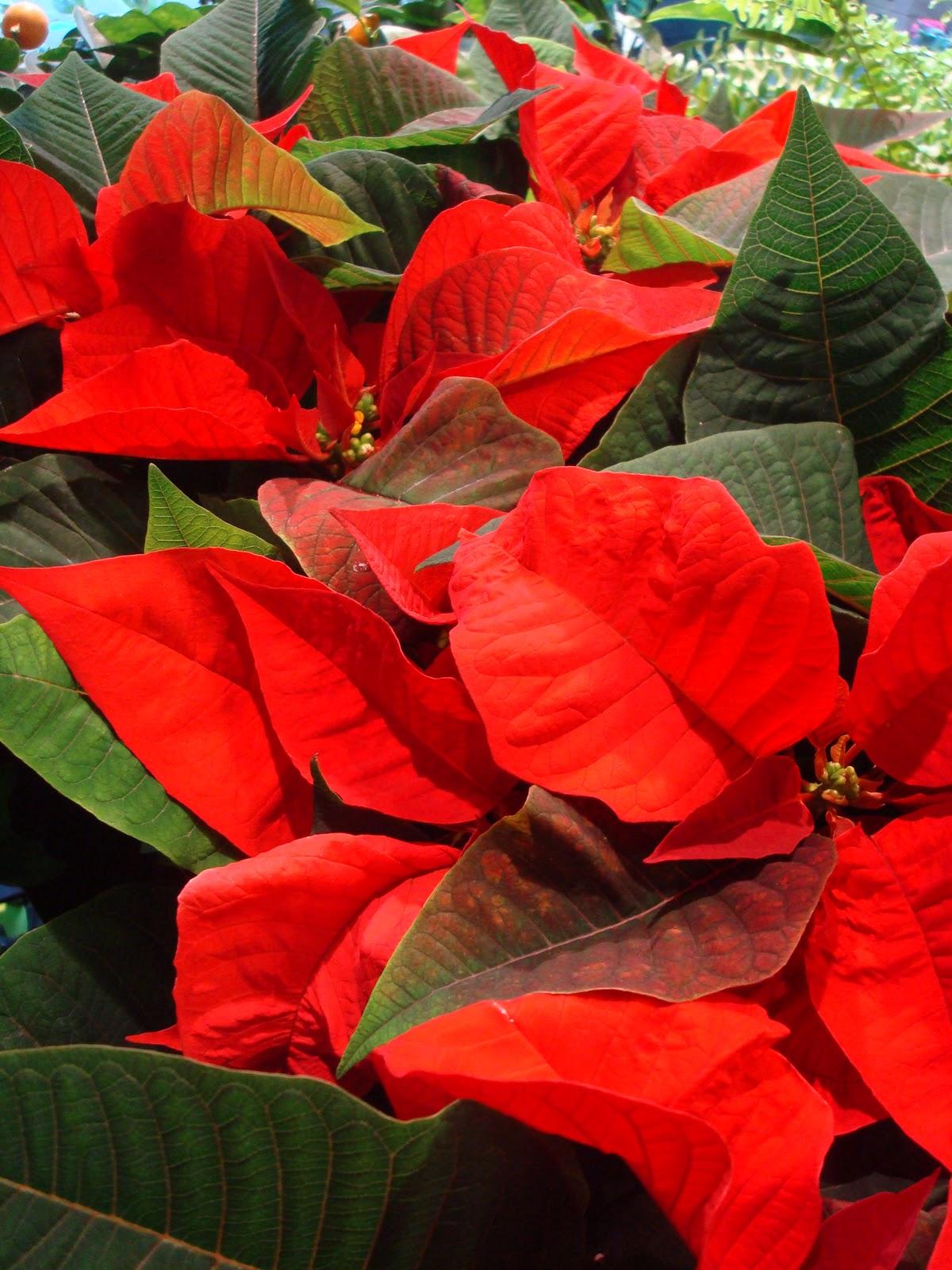 Fleuriste isabelle feuvrier le poinsettia ou toile de no l for Plante noel rouge