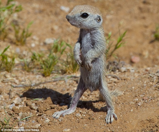 Cute Animals: Adorable baby ground squirrels first outing ...