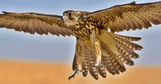 falcão peregrino hayabusa em japonês a ave mais rápida japão
