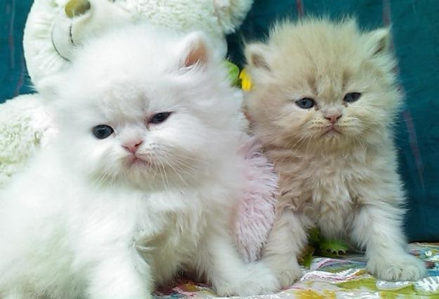 Lovely Punch Face Kittens for sale