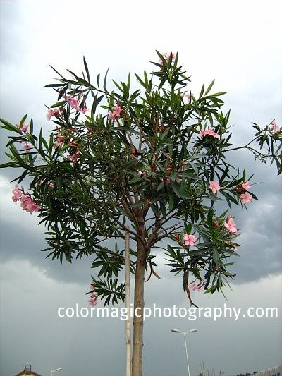 Oleander tree picture-pink