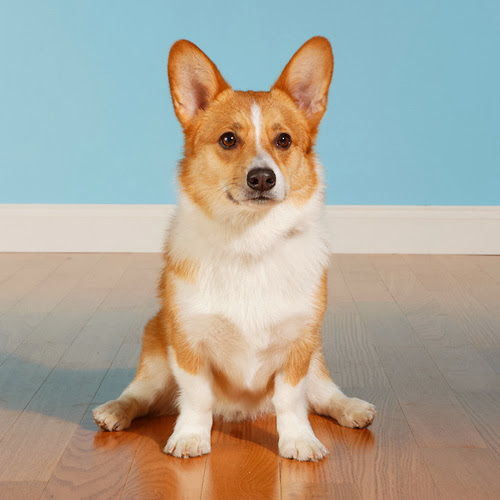 http://www.corgipals.org/Fundraisers/HelpingPaws/Cooper.aspx