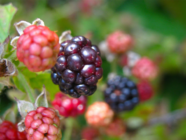 Blackberries-Are-Ripening-on-Long-Island