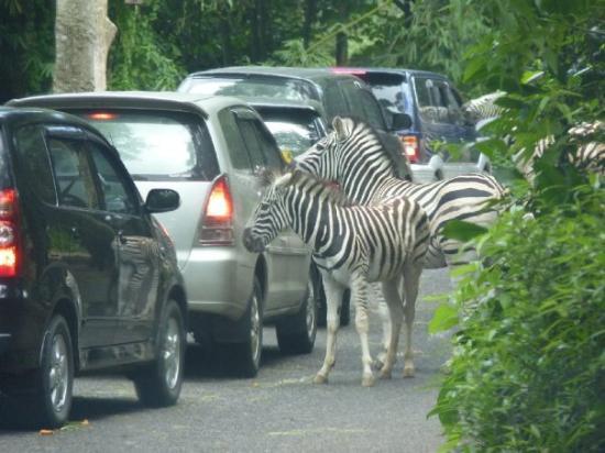 Taman Safari Cisarua Bogor 3