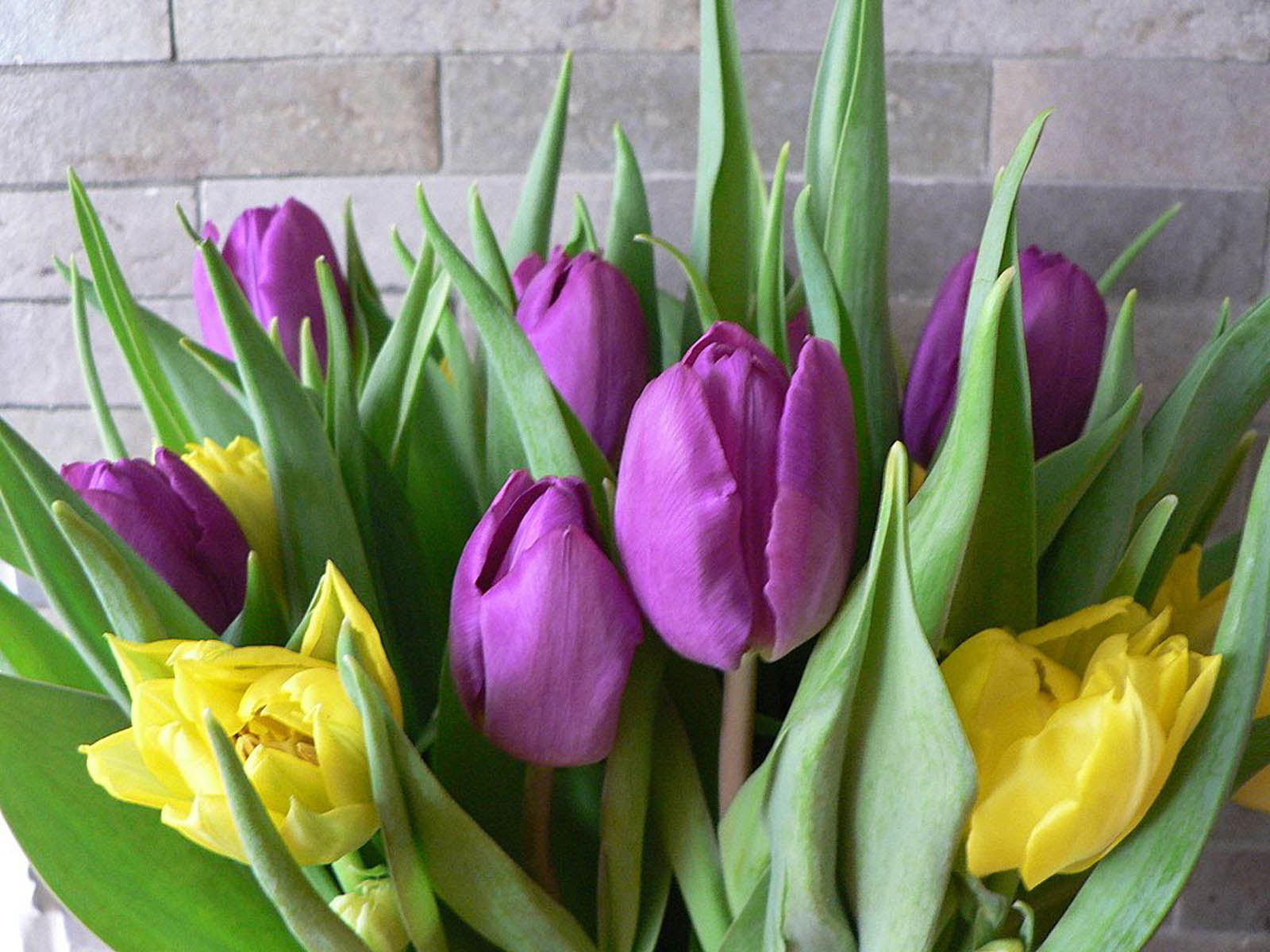 Purple Tulips Flowers Wallpapers ~ Desktop Wallpaper
