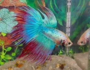 Fotos de Peixes Ornamentais