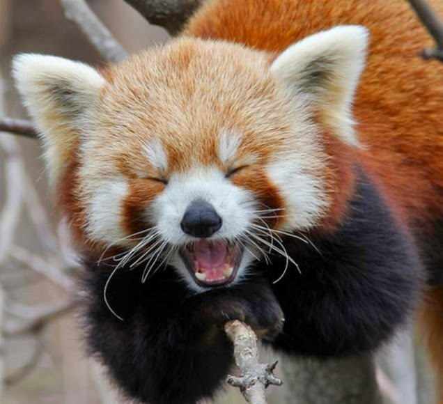 40 Adorable red panda pictures (40 pics), happy red panda laughing