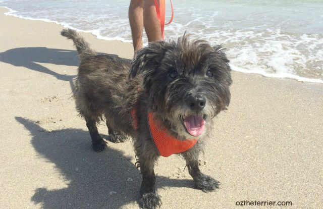 Oz the Terrier stays fueled up for beach adventures with high-quality pet food