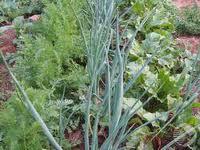 """Тема опыта:  """"Уплотнённый метод выращивания овощей """".  Автор: Бибикова...  Выполнила: ученица 10 класса."""