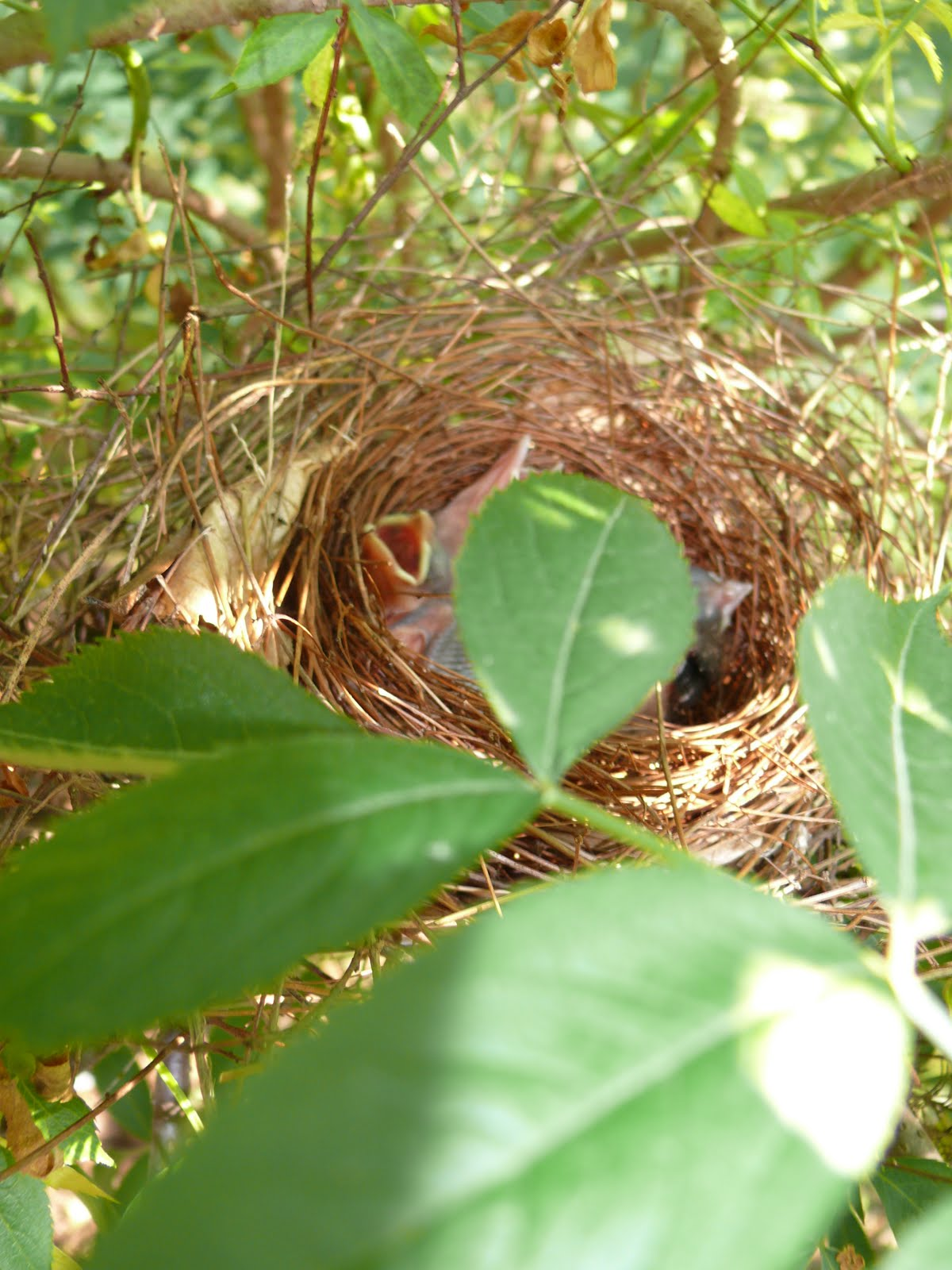 triangle naturalist backyard nature nesting birds