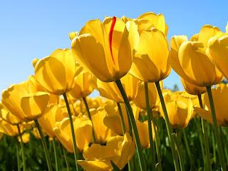 Yellow Tulips Wallpapers