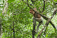 male proboscis monkey in the mangrove park, Tarakan