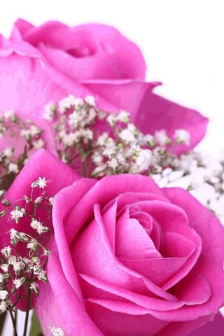 320x480 Macro Pink Rose Iphone Wallpaper Hd
