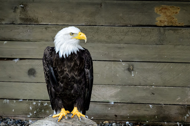 Bald Eagle at the Alaska Rainforest Sanctuary