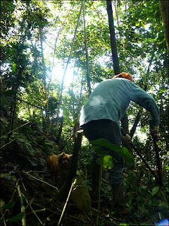 cutting saplings in coffee field