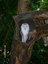 An Australian owl.