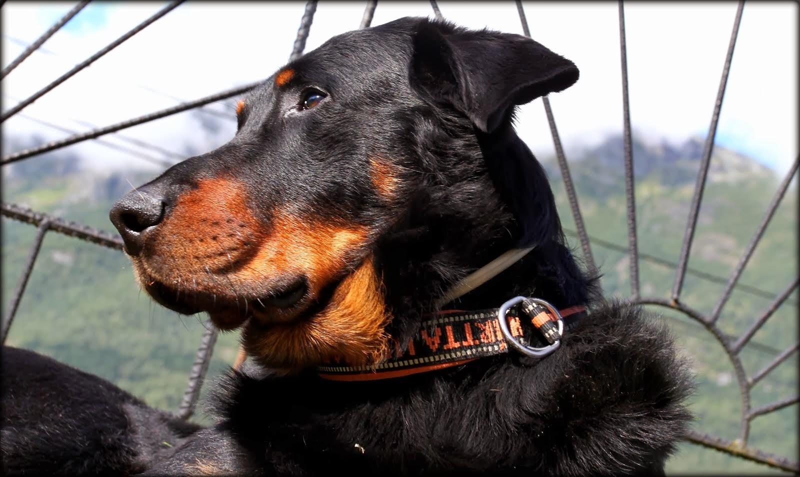 Vakthunden D`Aran
