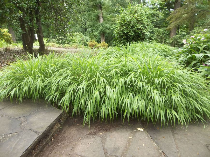 Future plants by randy stewart japanese forest grass for Oriental grass plants