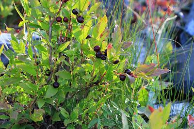 Vaccinium membranaceum (Black Huckleberry)