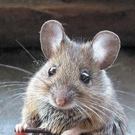 Cara Mudah Mengusir dan Membasmi Tikus Secara Alami