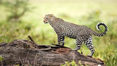 Hermoso leopardo en su hábitat natural