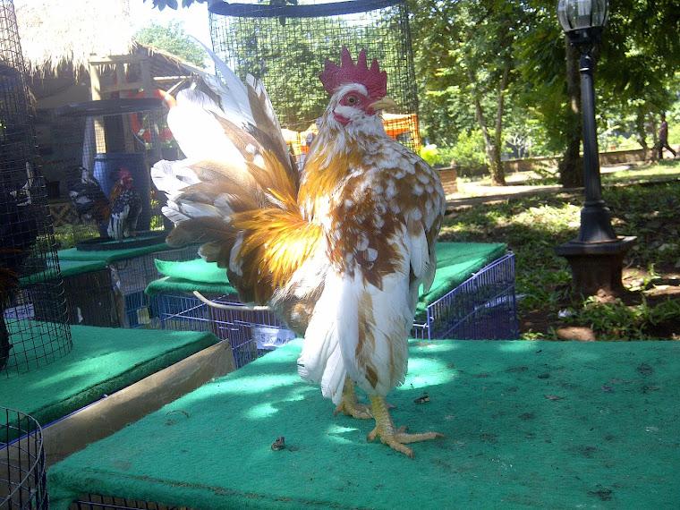 Dijual Ayam Serama