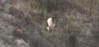 Ganga ibérica (Pterocles alchata) Barranco de Las Almunias (Cuarte de Huerva) Pedro López Gómez-Monedero