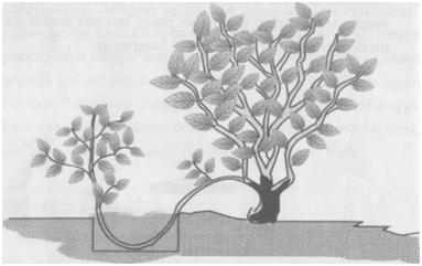 Budidaya Tanaman Bunga Melati Perbanyakan Tanaman Bunga Melati