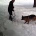 German Shepherd Gives Her Owner Snow Shoveling Lessons