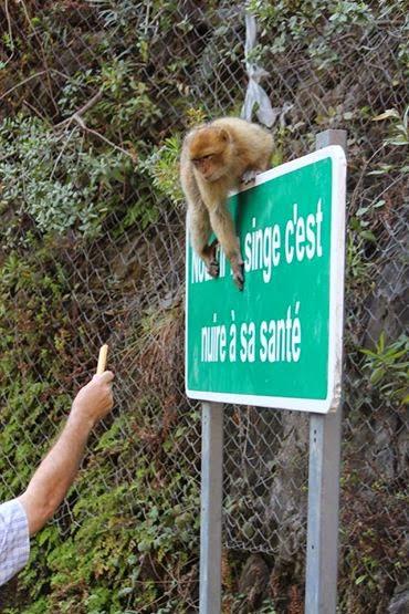 اطعام القرد يضر بصحته !